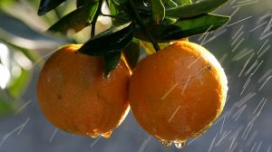 Right Before Cold And Flu Season, And Florida's Oranges Are Dying